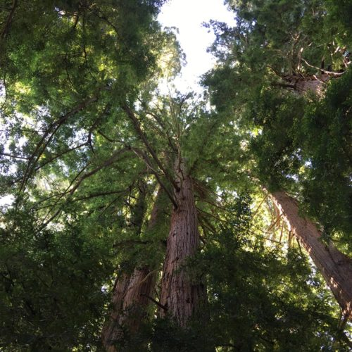 Ridgewood Ranch Wedding Venues - Ridgewood Ranch Grove, looking up through Redwoods, like a Cathedral IMG_5046